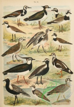 birds_full_color-01023 - 017-Common Ringed Plover, Kentish Plover, Lesser Ringed Plover, Eurasian Dotterel, European Golden-Plover, Grey Plover, Northern Lapwing, Ruddy Turnstone