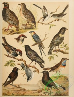 birds_full_color-01038 - 032-Black Francolin, Common Buttonquail, Northern Long-tailed Tit (Sicily), La Marmora's Warbler, Italian Sparrow, Spanish Sparrow, Ring Ouzel, Rufous Swallow