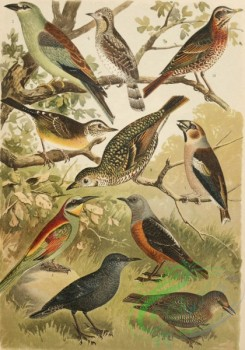 birds_full_color-01045 - 039-Hawfinch, European Roller, European Bee-Eater, Common Wryneck, Rufous-Tailed Rock Thrush, Blue Rock-Thrush, Dark Ouzel, White's Thrush, Naumann's thrush