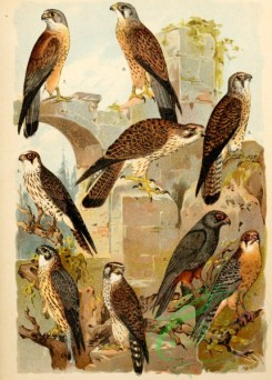 birds_full_color-01046 - 040-Merlin, Red-footed Falcon, Lesser Kestrel, Common Kestrel