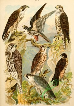 birds_full_color-01050 - 044-Iceland Falcon, Lanner Falcon, Peregrine Falcon, Northern Hobby