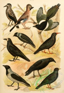 birds_full_color-01051 - 045-Spotted Nutcracker, Eurasian Jay, Yellow-billed Chough, Red-billed Chough, Black-Billed Magpie, Eurasian Jackdaw, Rook, Carrion Crow, Hooded Crow