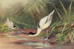 birds_full_color-01055 - AVOCET