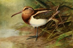 birds_full_color-01068 - PAINTED SNIPE