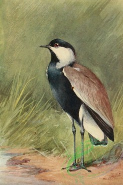 birds_full_color-01073 - SPUR-WINGED PLOVER