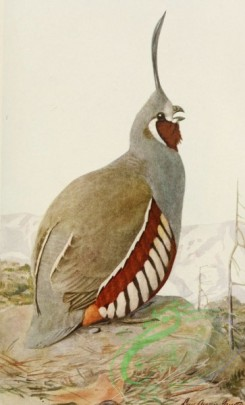 birds_full_color-01077 - Mountain Quail
