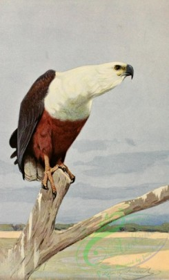 birds_full_color-01082 - African Fish Eagle