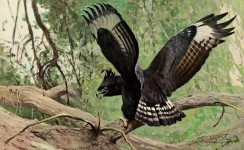 birds_full_color-01087 - Long-crested Eagle