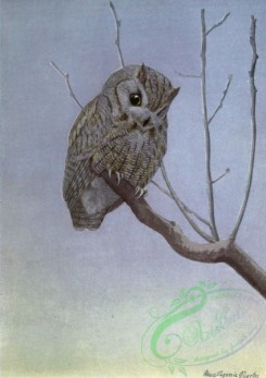 birds_full_color-01092 - SCREECH OWL