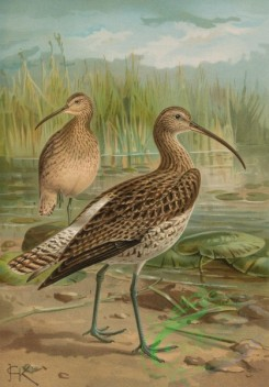 birds_full_color-01239 - Eurasian Curlew