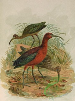 birds_full_color-01248 - Glossy Ibis