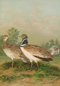 birds_full_color-01249 - Little Bustard