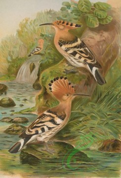 birds_full_color-01254 - Eurasian Hoopoe