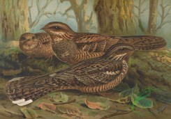 birds_full_color-01255 - Eurasian Nightjar