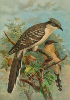 birds_full_color-01256 - Great Spotted Cuckoo