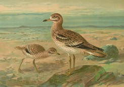 birds_full_color-01265 - Eurasian Stone-Curlew