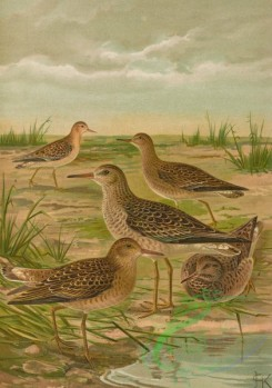 birds_full_color-01275 - Ruff, 3