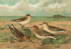 birds_full_color-01277 - Sanderling, Broad-Billed Sandpiper