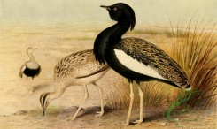 birds_full_color-01321 - Bengal Florican, sypheotis bengalensis