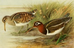 birds_full_color-01329 - Painted Snipe, rostratula capensis