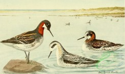 birds_full_color-01335 - Northern Phalarope, lobipes lobatus