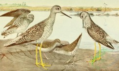 birds_full_color-01340 - Solitary Sandpiper, Spotted Sandpiper, Greater Yellowlegs, Lesser Yellowlegs, totanus flavipes, actitis macularia, helodromas solitarius, totanus melanoleucus