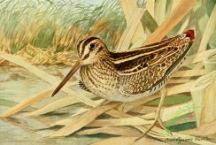 birds_full_color-01345 - Wilson Snipe, gallinago delicata
