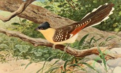 birds_full_color-01349 - Great Spotted Cuckoo