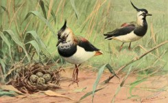 birds_full_color-01350 - Northern Lapwing