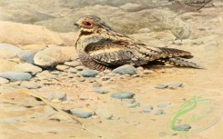 birds_full_color-01354 - European nightjar