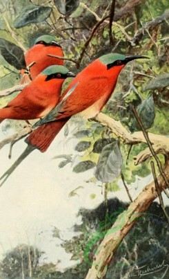 birds_full_color-01357 - Northern carmine bee-eater