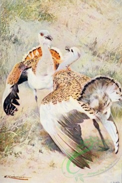 birds_full_color-01366 - Great Bustard