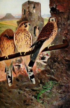 birds_full_color-01367 - Kestrel