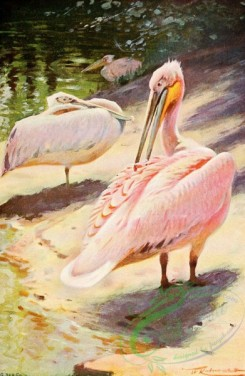 birds_full_color-01368 - Pelican