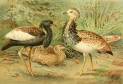 birds_full_color-01380 - Florican and Macqueen's Bustard