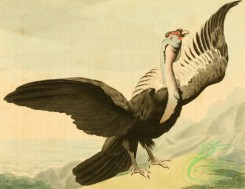 birds_full_color-01384 - Condor, vultur gryphus