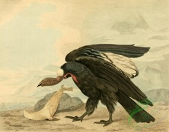 birds_full_color-01389 - Magellanic Vulture, Condor, vultur magellanicus