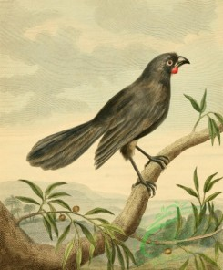 birds_full_color-01399 - Wattle Bird, callaeas cinerea