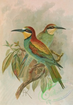 birds_full_color-01557 - Bee-Eater