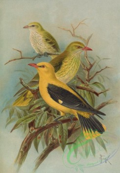 birds_full_color-01561 - Eurasian Golden-Oriole