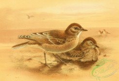 birds_full_color-01566 - DESERT LARKS