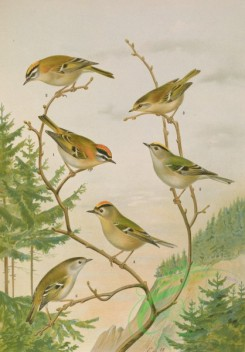 birds_full_color-01571 - Firecrest, Goldcrest