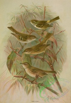 birds_full_color-01577 - Pallas' Willow Warbler, Yellow-Browed Warbler, Chiff Chaff, Siberian Chiffchaff