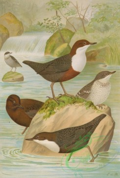 birds_full_color-01583 - White-throated Dipper (Southern European), White-throated Dipper, Brown Dipper