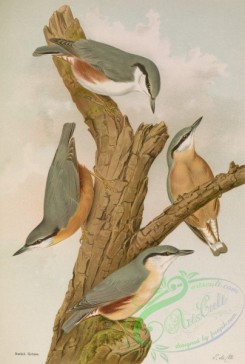 birds_full_color-01584 - Wood Nuthatch (Southern), Wood Nuthatch
