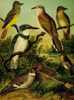 birds_full_color-01589 - Crested Flycatcher, Belted Kingfisher, Nighthawk, Yellow-billed Cuckoo, Wood Pewee, Acadian Flycatcher, Whip-poor-will