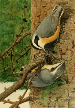 birds_full_color-01600 - RED-BREASTED NUTHATCH