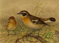 birds_full_color-01604 - 006-WHINCHAT