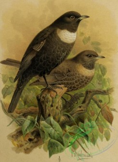 birds_full_color-01610 - 021-RING-OUZEL