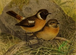 birds_full_color-01611 - 031-STONECHAT